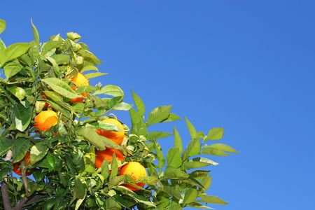 fresh orange friuts on tree over blue sky photo