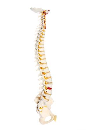 columna vertebral humana: Una imagen de un preparado de columna vertebral humana sobre fondo blanco