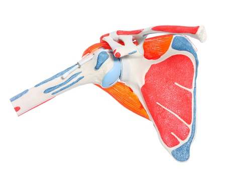 over the shoulder: A close-up of a shoulder bone, joint and muscles over white background