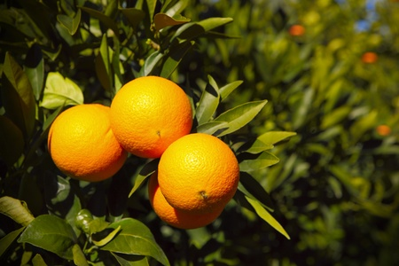 tangerine tree: A picture of fresh oranges hanging on the tree on a farm