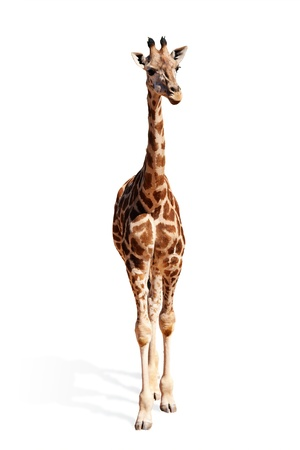 A picture of a cute baby giraffe standing against white background