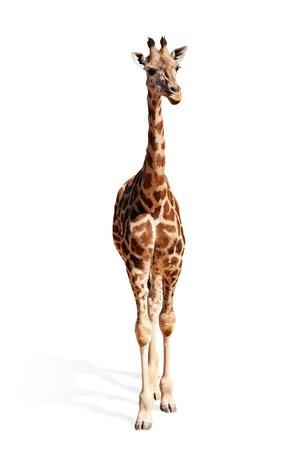 jirafa cute: Una foto de un permanente de jirafa lindo beb� sobre fondo blanco Foto de archivo