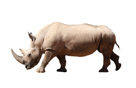A picture of a big rhino standing against white background