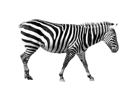 A picture of a young zebra standing over white background photo
