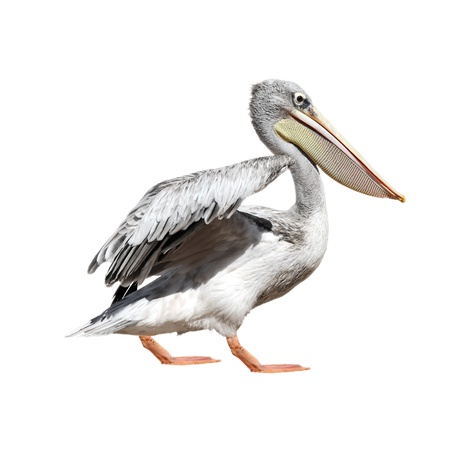 A picture of a cute pelican walking over white background photo