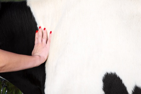 A picture of a hand touching cow's fur space for text Stock Photo - 10601342