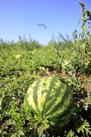 melon field: A picture of a fresh watermelon growing on a plantation Stock Photo