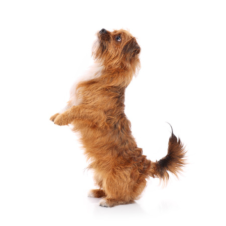 A picture of a young dog standing on back paws over white background