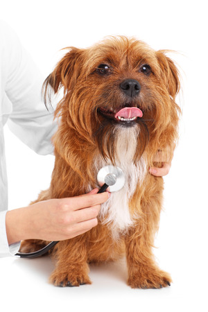 A picture of a terrier being examined by a vet over white background photo