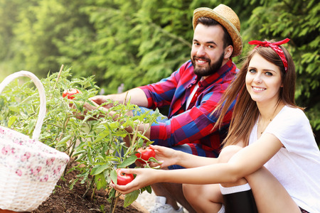 allotment: Picture of young couple planting organic tomatoes