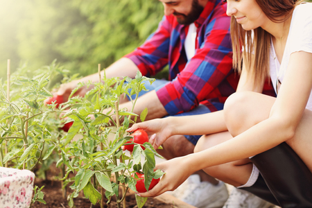 happy work: Picture of young couple planting organic tomatoes