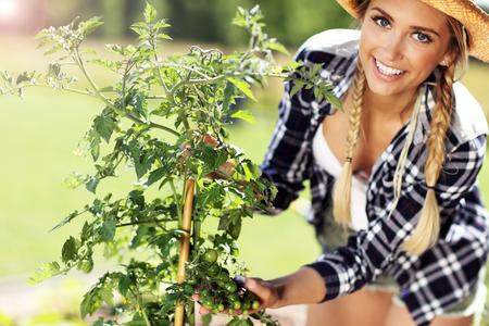 Volwassen vrouw het plukken tomaten van moestuin Stockfoto