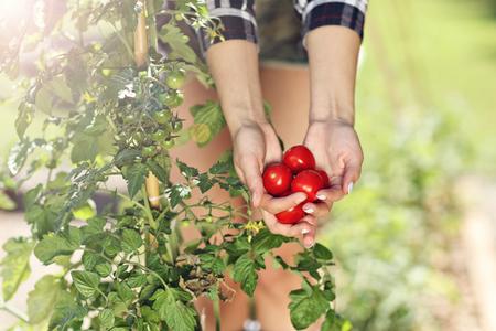 Adult woman picking tomatoes from vegetable garden Reklamní fotografie - 82236972
