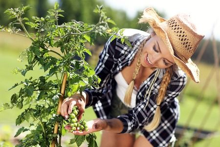 Adult woman picking tomatoes from vegetable garden