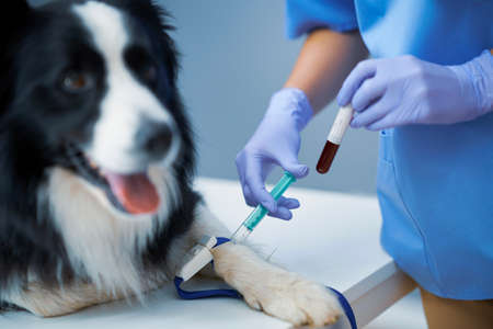 Female vet taking blood sample and examining a dog in clinic Фото со стока