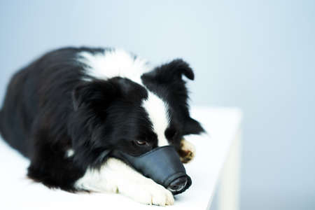 Sad border collie dog with muzzle on in vet clinic Фото со стока