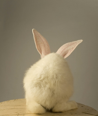 Portrait of a white rabbit with standing with the back at the camera on grey background