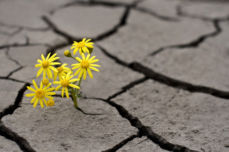 endure: Lonely yellow flower growing on dried cracked soil
