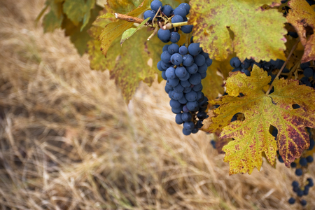 pinot noir: Horizontal close up of a bunch of pinot noir grape in a vineyard with vine leaves in the foreground