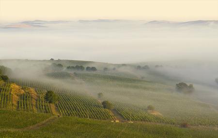 Landschaft von einem Weinberg im Morgennebel mit Berg zeigt im fernen Hintergrund