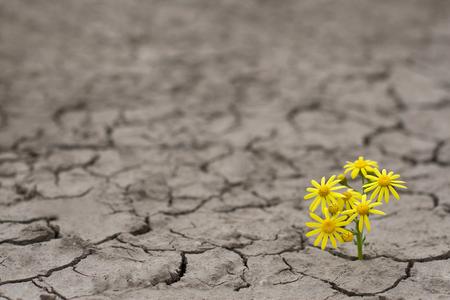 Vista lateral horizontal de una flor amarilla solitaria que crece en suelo agrietado secado Foto de archivo