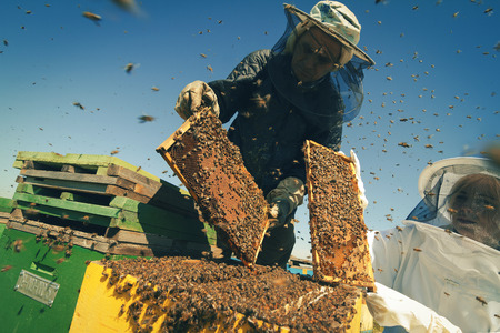 Horizontal front view of two beekeepers checking the honeycomb of a beehive with bees swarming around them Stock Photo