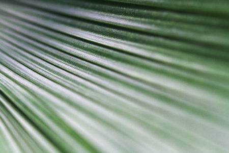 luxuriant: abstract macro closeup of green palm leaf background with selective focus