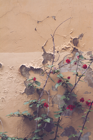 front view vintage closeup of red garden flower against beige wall with peeling paint