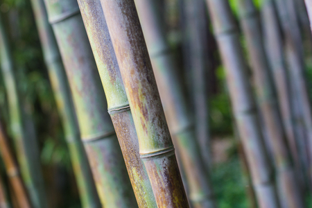 front view closeup with shallow depth of field of bamboo forest with natural texture