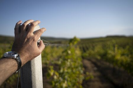 perspective point of view closeup of Caucasian male hand with black watch resting on concrete pillar in the vineyard