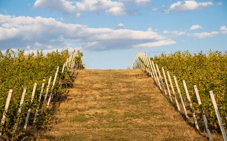 front view perspective view of wide green field horizon opening between green grape vineyard rows concrete pillars with blue sky and clouds above Banco de Imagens