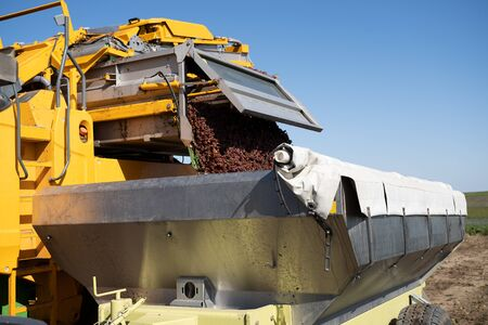 closeup of yellow vineyard agricultural grape harvesting machine clearing its load in a tractor trailer steel container for further processing
