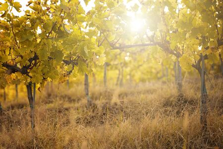perspective view of young vineyard grapevine with autumn brown leaves in the morning sun