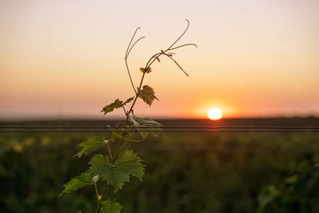 front view closeup of lone grape vine rising above a vineyard in the morning with the sun at the horizon with clear sky