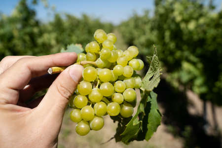 perspective point of view closeup of Caucasian male hand holding a bunch of green wine grapes with green vineyard rows in the background