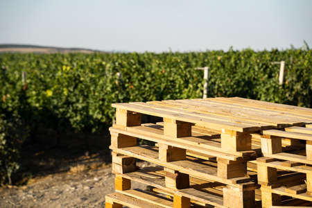 closeup view of many empty stacked wooden euro pallets for transportation in front of the rows of a green vineyard getting ready for the harvest