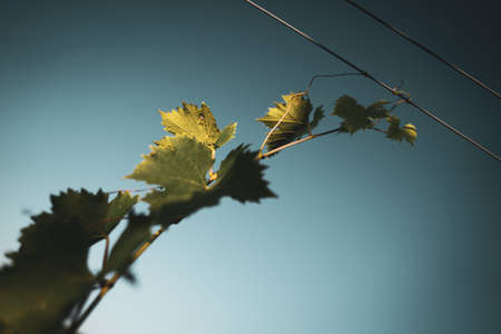 closeup view of wine grape leaf vine attached to the steel sustaining cables in the vineyard with blue sky above