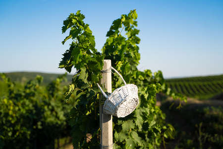 front view of empty straw weaved white wicker basket hanging on a pole in vineyard under blue clear sky