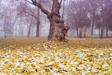 front view closeup of tilted mistic old tree with large trunk and dead autumn leaves on the ground in a forest with mist
