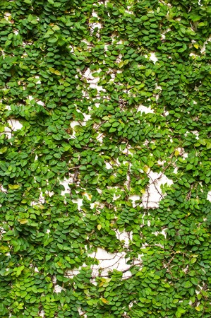 creeping: Creeping Fig on the white wall Stock Photo