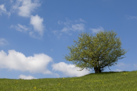 lonely tree, green field and the blue sky with white clouds  photo
