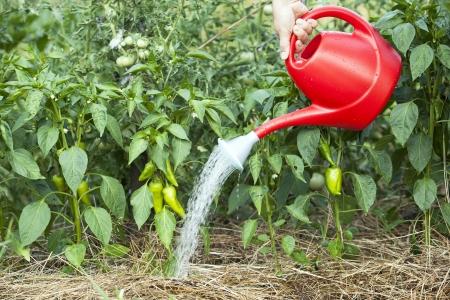 regar las plantas: vegetal riego de jardines