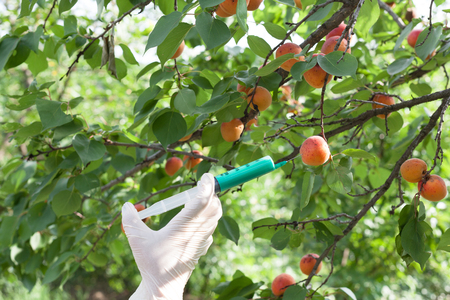genetically: Genetically modified apricot