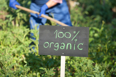 genetically modified crops: Farmer working in the organic vegetable garden Stock Photo