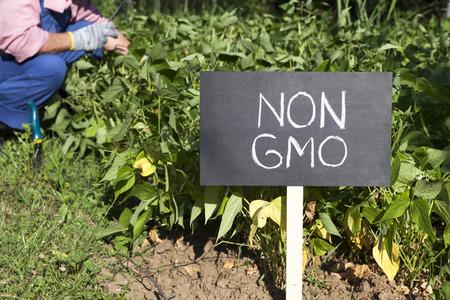 genetically modified crops: Farmer working in the non-genetically modified vegetable garden