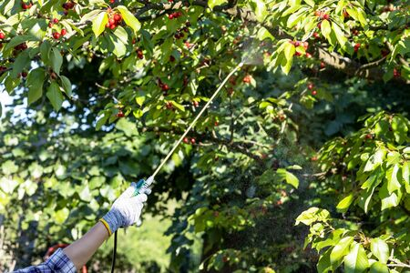 Spraying fruit tree with homemade organic pesticide or insecticide 版權商用圖片