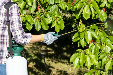 Spraying fruit tree with organic pesticide or insecticide