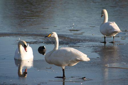 Swan frozen lake photo