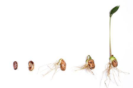 germinaci�n: Etapas de la germinaci�n de una haba de corredor. Foto de archivo
