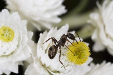 antennae: Macro of a tiny ant on a flower.